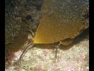 Oarweed - Algae<br>(<i>Laminaria farlowii</i>)