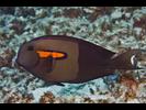 Orangeband Surgeonfish - Surgeonfish<br>(<i>Acanthurus olivaceus</i>)