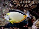 Orangespine Unicornfish - Surgeonfish<br>(<i>Naso lituratus</i>)