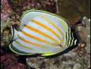 Ornate Butterflyfish - Butterflyfish<br>(<i>Chaetodon ornatissimus</i>)