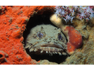 Oyster Toadfish - Toadfish<br>(<i>Opsanus tau</i>)
