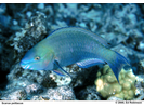 Palenose Parrotfish - Parrotfish<br>(<i>Scarus psittacus</i>)