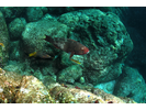 Bicolor Parrotfish  - Parrotfish - Loro<br>(<i>Scarus rubroviolaceus</i>)