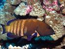 Peacock Grouper - Seabass<br>(<i>Cephalopholis argus</i>)