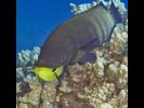 Peacock Grouper - Grouper<br>(<i>Cephalopholis argus</i>)