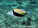 Reef Triggerfish - Triggerfish<br>(<i>Rhinecanthus rectangulus</i>)