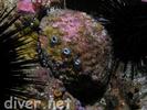 Pink Abalone - Mollusks<br>(<i>Haliotis corrugata</i>)