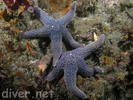 Giant Spined Star - Echinoderms<br>(<i>Pisaster giganteus</i>)