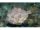 Planehead Filefish - Filefish<br>(<i>Stephanolepis hispidus</i>)