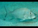 Pacific Porgy - Porgy<br>(<i>Calamus brachysomus</i>)