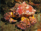 Puget Sound King Crab - Arthropods<br>(<i>Lopholithodes mandtii</i>)