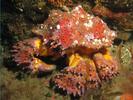 Puget Sound King Crab - Arthropods<br>(<i>Lopholithodes mandtii</i>)