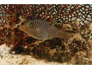 Spotted Sharpnose Puffer - Puffer<br>(<i>Canthigaster punctatissima</i>)