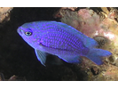 Purple Reeffish - Damselfish<br>(<i>Chromis scotti</i>)