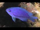 Purple Reeffish - Damselfish<br>(<i>Chromis scotti</i>)