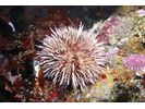 Purple Urchin - Echinoderms<br>(<i>Strongylocentrotus purpuratus</i>)