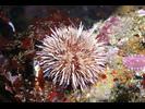 Purple Urchin - Echinoderms<br>(<i>Strongylocentrotus purpuratus</i>)