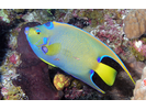 Queen Angelfish - Angelfish<br>(<i>Holacanthus ciliaris</i>)