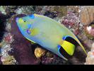 Queen Angelfish - Angelfish<br>(<i>Holacanthus ciliaris</i>)
