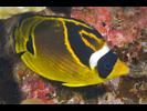 Raccoon Butterflyfish - Butterflyfish<br>(<i>Chaetodon lunula</i>)