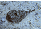 Bullseye Electric Ray - Electric Ray<br>(<i>Diplobatis ommata</i>)