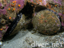 Red Abalone - Mollusks<br>(<i>Haliotis rufescens</i>)