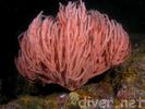 Red Gorgonian - Cnidarians<br>(<i>Leptogorgia chilensis</i>)