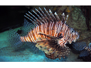 Red Lionfish (exotic) - Scorpionfish<br>(<i>Pterois volitans</i>)