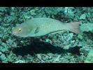 Redlip Parrotfish - Parrotfish<br>(<i>Scarus rubroviolaceus</i>)