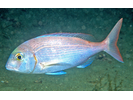 Red Porgy - Porgy<br>(<i>Pagrus pagrus</i>)