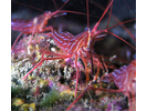 Red Rock Shrimp - Arthropods<br>(<i>Lysmata californica</i>)