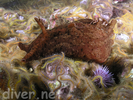 Red Sea Hare - Mollusks<br>(<i>Aplysia californica</i>)