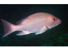 Red Snapper - Snapper<br>(<i>Lutjanus campechanus</i>)