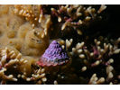Red Turban Snail - Mollusks<br>(<i>Lithopoma gibberosum</i>)