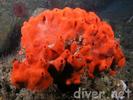 Red Volcano Sponge - Poriferans<br>(<i>Acamus erithacus</i>)