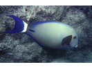 Ringtail Surgeonfish - Surgeonfish<br>(<i>Acanthurus blochii</i>)