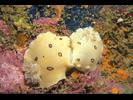 San Diego Dorid / Leopard Dorid - Mollusks<br>(<i>Diaulula sandiegensis / odonoghuei</i>)