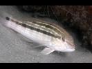 Sand Perch - Seabass<br>(<i>Diplectrum formosum</i>)