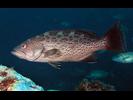 Scamp - Seabass<br>(<i>Mycteroperca phenax</i>)