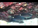 Scissortail Chromis - Damselfish - Jaqueta<br>(<i>Chromis atrilobata</i>)