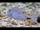 Scrawled Cowfish - Boxfish<br>(<i>Acanthostracion quadricornis</i>)