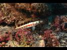 Barred Serrano - Seabass - Cabrilla Y Mero<br>(<i>Serranus psittacinus</i>)