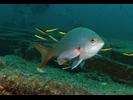 Pacific Creolefish - Seabass - Cabrilla Y Mero<br>(<i>Paranthias colonus</i>)