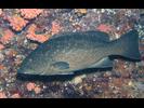 Leopard Grouper - Seabass - Cabrilla Y Mero<br>(<i>Mycteroperca rosacea</i>)