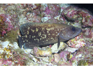 Mottled Soapfish - Seabass - Cabrilla Y Mero<br>(<i>Rypticus bicolor</i>)