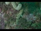 Gold-spotted Sandbass - Seabass - Cabrilla Y Mero<br>(<i>Paralabrax auroguttatus</i>)