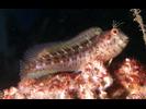 Seaweed Blenny - Blenny - Combtooth<br>(<i>Parablennius marmoreus</i>)