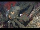 Masking/Sheep Crab - Arthropods<br>(<i>Loxorthynchus crispatus (L. grandis)</i>)