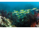 Blue-and-Gold Snapper - Snapper - Pargo<br>(<i>Lutjanus viridis</i>)