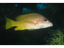Amarillo (Yellow) Snapper - Snapper - Pargo<br>(<i>Lutjanus argentiventris</i>)